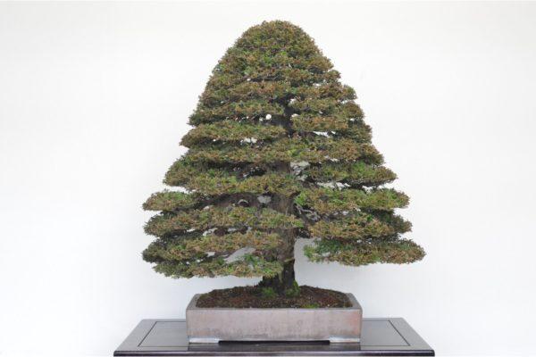 Hinoki Cypress bonsai tree in the double-trunk style at Kouka-en Osaka