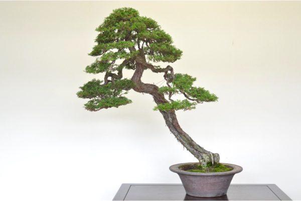 Hinoki Cypress bonsai tree in the leaning style at Kouka-en nursery