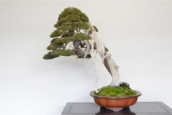 Itoigawa Shimpaku Juniper Bonsai in the leaning style with a hanging jin feature