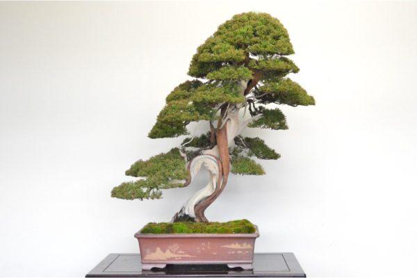 Itoigawa Shimpaku Juniper bonsai tree with edajin at Kouka-en