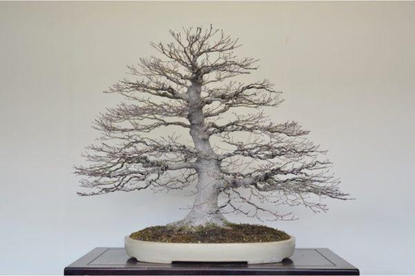 Japanese Maple bonsai in winter silhouette form at Kouka-en nursery