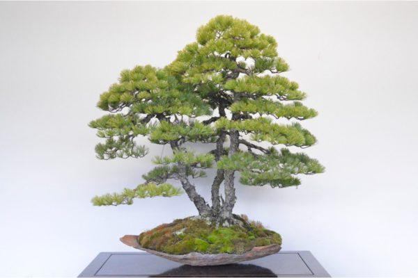 Japanese White Pine bonsai tree at Kouka-en in the clump style
