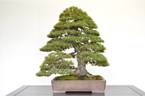 Japanese White Pine bonsai tree in the double-trunk style at Kouka-en nursery