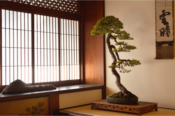 Japanese White Pine bonsai tree on display in a tokonoma at Daitoku-ji in Kyoto