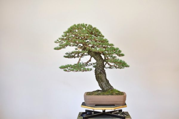 Scots Pine bonsai tree with small needles after styling by Bjorn Bjorholm