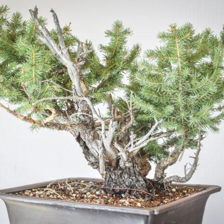 Yamadori Colorado Blue Spruce with excellent deadwood