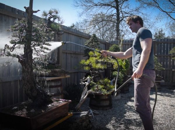 Watering bonsai trees in the spring