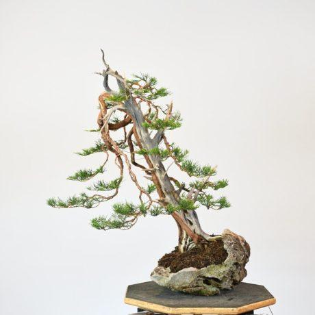 Prostata Juniper Bonsai on Lace Rock
