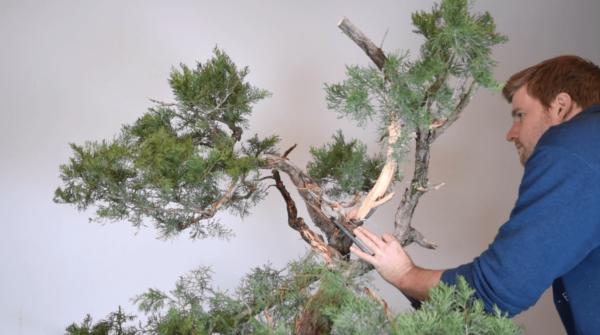 Bjorn Bjorholm styles an Ashe Juniper for Bonsai-U part one