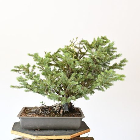 Colorado Blue Spruce Bonsai Yamadori Clump