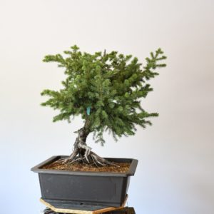 Colorado Blue Spruce Bonsai Yamadori with Exposed Roots