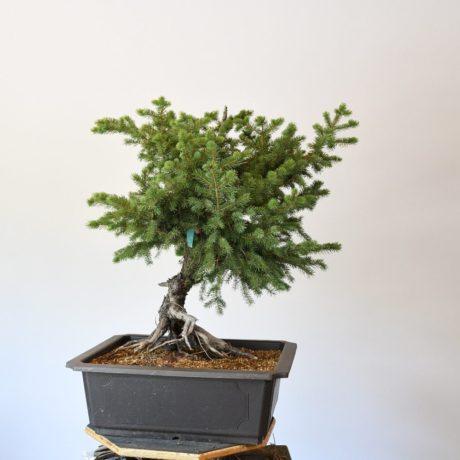 Colorado Blue Spruce Bonsai Yamadori Exposed Root