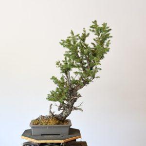 Colorado Blue Spruce Bonsai Yamadori planted in a grey Tokoname Pot