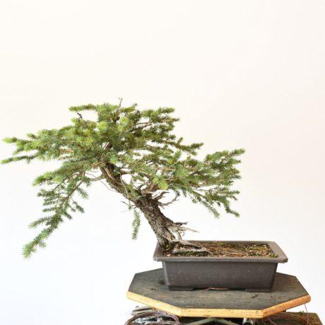 Colorado Blue Spruce Bonsai Yamadori Leaning Style
