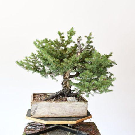 Colorado Blue Spruce Bonsai Yamadori Twin-Trunk