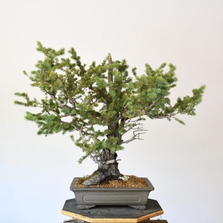 Colorado Blue Spruce Bonsai Yamadori in Cloud Feet Tokoname Pot