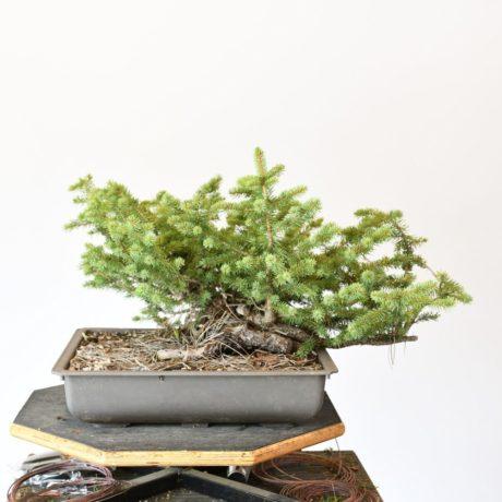 Colorado Blue Spruce Bonsai Yamadori very Low Profile