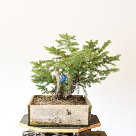 Colorado Blue Spruce Bonsai Yamadori with Deadwood