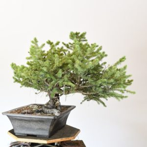 Colorado Blue Spruce Bonsai Yamadori with a Large Nebari