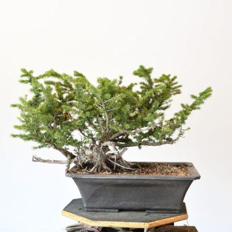 Colorado Blue Spruce Bonsai Yamadori with Low Profile
