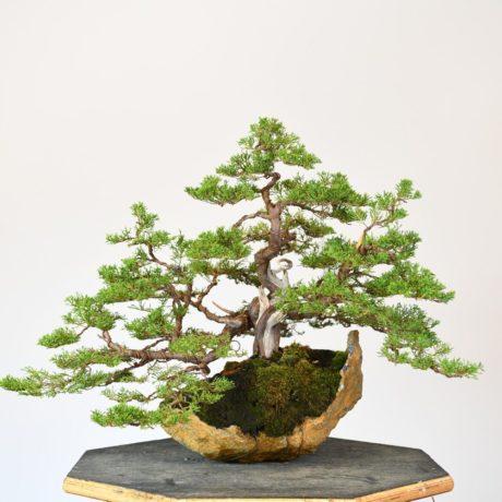 Itoigawa Simpaku Bonsai on Kurama Stone
