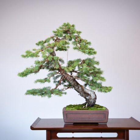 Colorado Blue Spruce bonsai in a Yamaaki pot