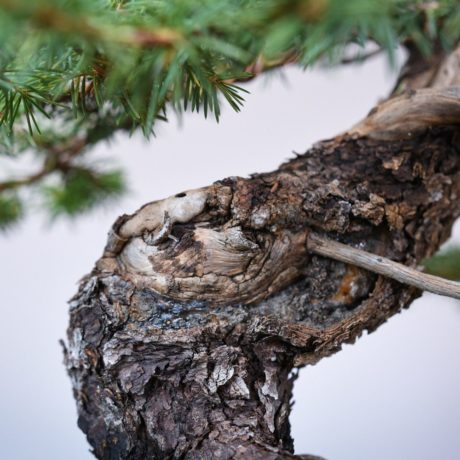 Colorado Blue Spruce bonsai in a Yamaaki pot deadwood close up