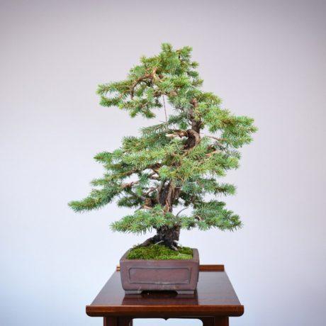 Colorado Blue Spruce bonsai in a Yamaaki pot left side view