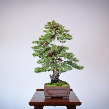 Colorado Blue Spruce bonsai in a Yamaaki pot right side view
