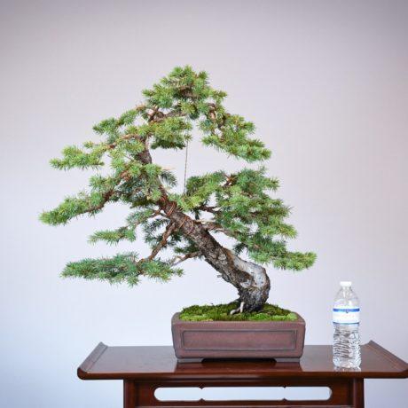 Colorado Blue Spruce bonsai in a Yamaaki pot size comparison