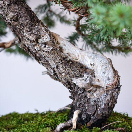 Colorado Blue Spruce bonsai in a Yamaaki pot trunk close up