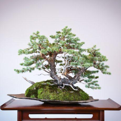 Colorado Blue Spruce bonsai planted on a rock slab