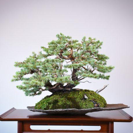 Colorado Blue Spruce bonsai planted on a rock slab back side view