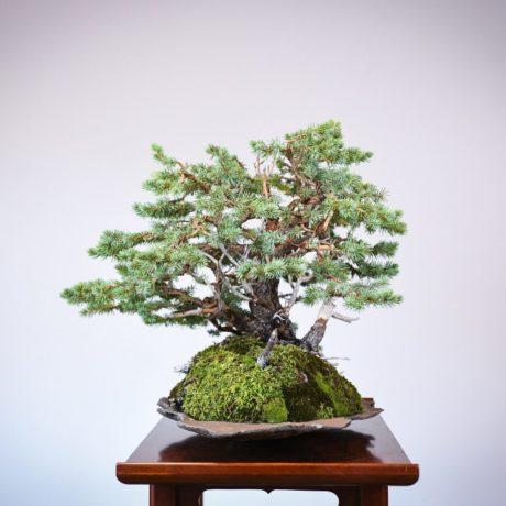Colorado Blue Spruce bonsai planted on a rock slab left side view