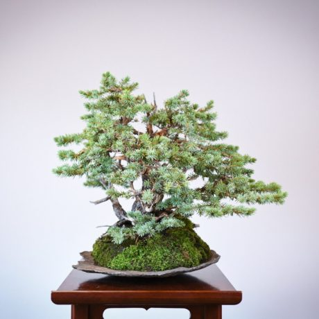 Colorado Blue Spruce bonsai planted on a rock slab right side view