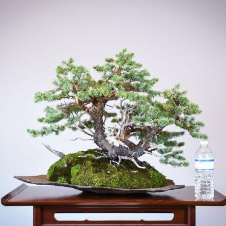 Colorado Blue Spruce bonsai planted on a rock slab size comparison