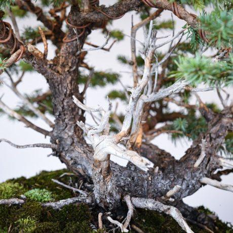 Colorado Blue Spruce bonsai planted on a rock slab trunk close up