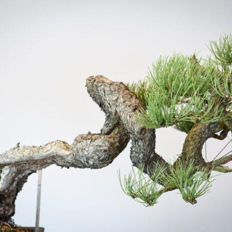 Ponderosa Pine bonsai with snaking trunk close up