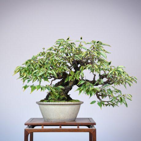 Japanese Flowering Apricot bonsai in a shirokochi nakawatari pot
