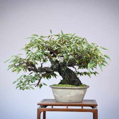 Japanese Flowering Apricot bonsai in a shirokochi nakawatari pot back side view