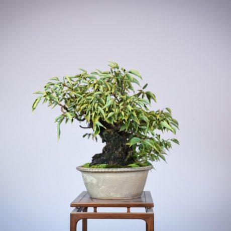 Japanese Flowering Apricot bonsai in a shirokochi nakawatari pot left side view
