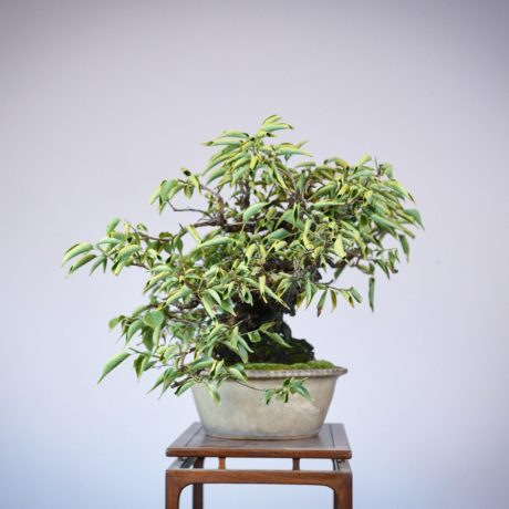 Japanese Flowering Apricot bonsai in a shirokochi nakawatari pot right side view