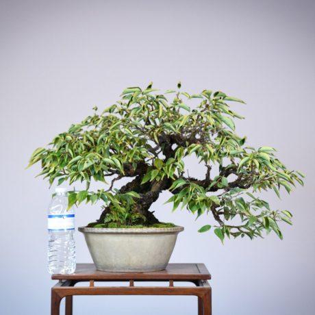 Japanese Flowering Apricot bonsai in a shirokochi nakawatari pot size comparison