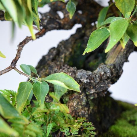 Japanese Flowering Apricot bonsai in a shirokochi nakawatari pot trunk close up