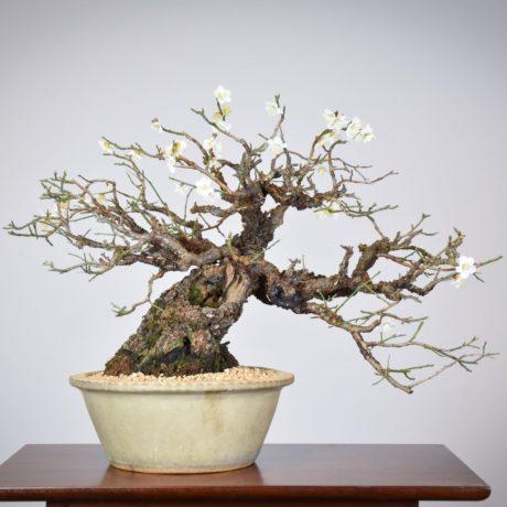 Japanese Flowering Apricot bonsai planted in a white nakawatari pot