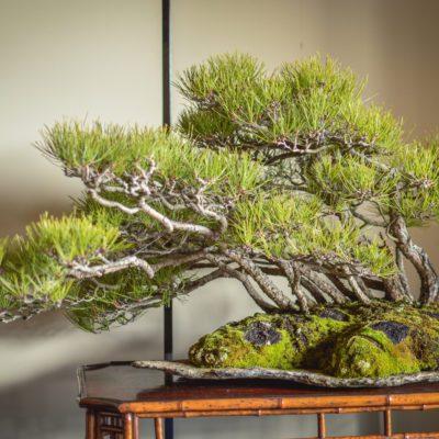 Japanese Red Pine bonsai at Daitoku-ji