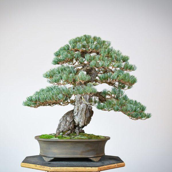 Japanese White Pine bonsai in an oval tokoname pot