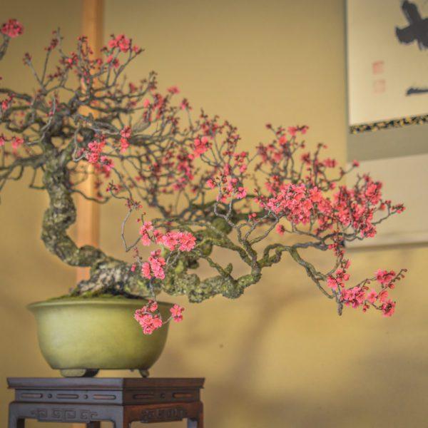 Japanese flowering apricot bonsai on display at Daitoku-ji in KYoto
