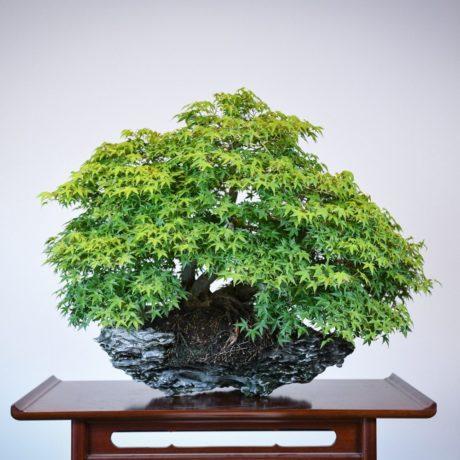 Kashima Japanese Maple planted on an ibigawa stone
