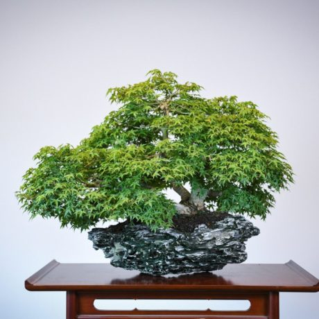 Kashima Japanese Maple planted on an ibigawa stone back side view